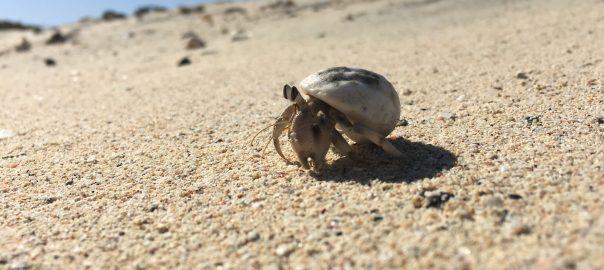 Einsiedlerkrebs am Strand